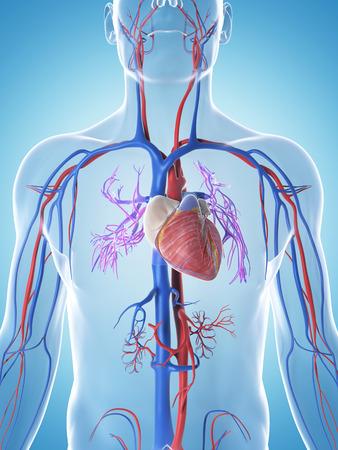 heart vessel: 3d rendered illustration of the male vascular system
