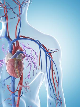 vaisseaux sanguins: 3d rendered illustration du syst?me vasculaire masculine