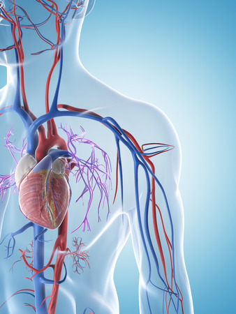 3d rendered illustration of the male vascular system illustration