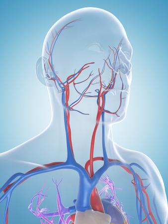 vasos sanguineos: 3d rindi? la ilustraci?n del sistema vascular macho