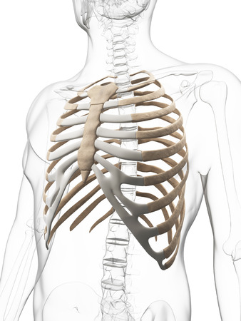 cartilage: 3d rendered illustration of the thorax