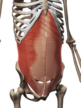 abdominal: 3d rendered illustration of the transversus abdominis muscle