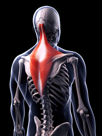 trapezius: 3d rendered illustration of the trapezius muscle Stock Photo