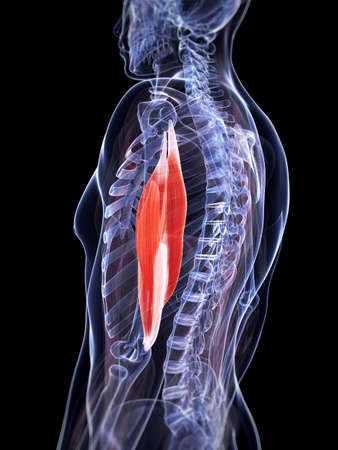 upper arm: 3d rendered illustration of the triceps