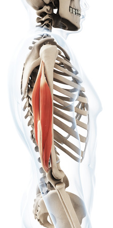 3d rendered illustration of the triceps
