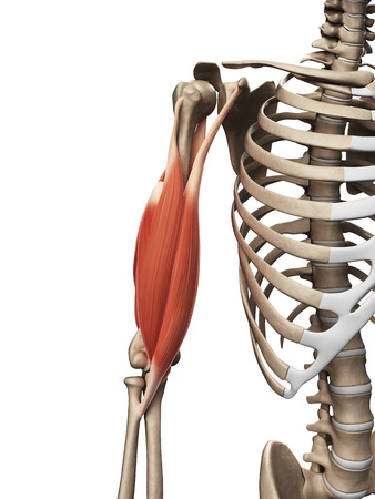 upper arm: 3d rendered illustration of the upper arm muscle