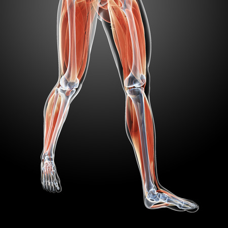 gastrocnemius: 3d rendered illustration of the leg muscles Stock Photo