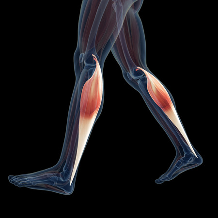 leg muscle: 3d rendered illustration of the leg muscles Stock Photo