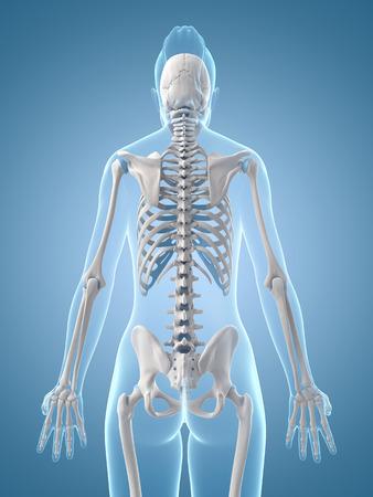 medical illustration of the skeletal back Stock Illustration - 22818619
