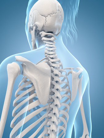 medical illustration of the skeletal back illustration