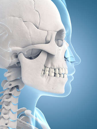 medical illustration of the skull and neck illustration