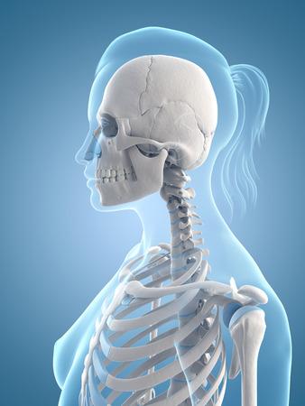 ilustración médica del cráneo y el cuello Foto de archivo - 22818625