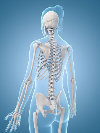 medical illustration of the skeletal back Stock Illustration - 22818626