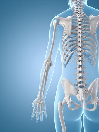 medical illustration of the skeletal back Stock Illustration - 22818629