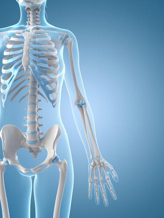 medical illustration of the female skeleton Stock Illustration - 22818630