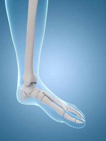 medical illustration of the skeletal foot Stock Illustration - 22818631
