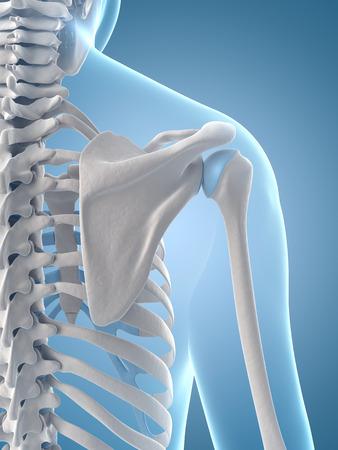 anatomie: medische illustratie van het schouderblad