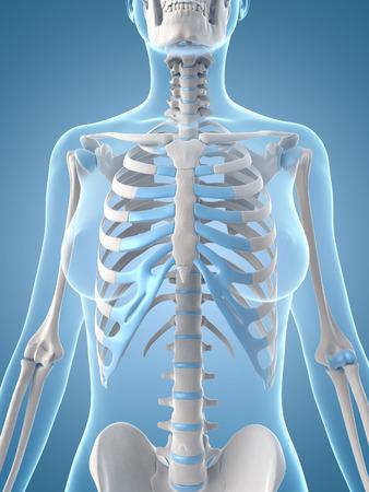 upper body: medical illustration of the female skeleton