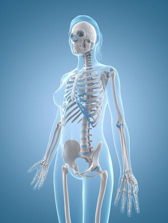 medical illustration of the female skeleton Stock Illustration - 22818658