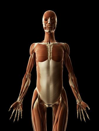 medical illustration of the female muscles illustration