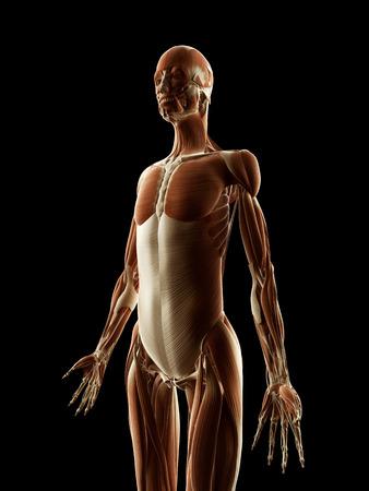 medical illustration of the female muscles Stock Illustration - 22818688