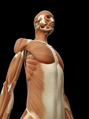 medical illustration of the female muscles Stock Illustration - 22818691