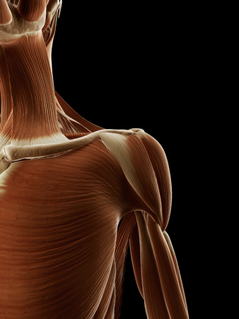 medical illustration of the shoulder muscles illustration