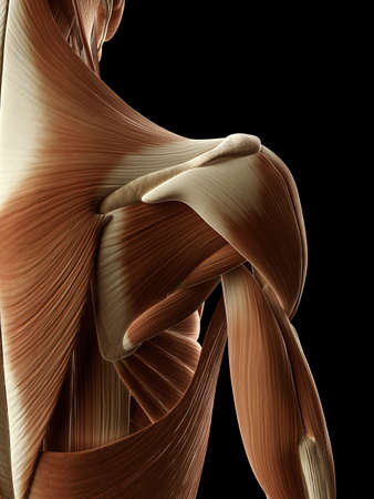 trapezius: medical illustration of the shoulder muscles