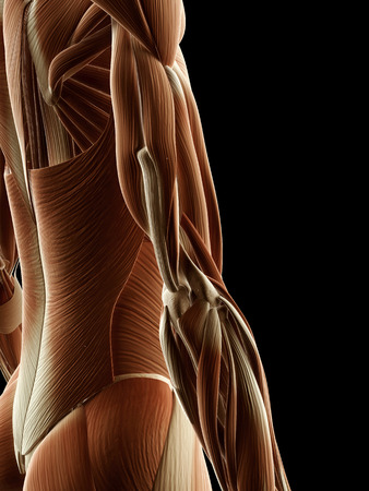 anatomy muscle: medical illustration of arm muscles