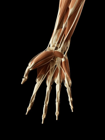 anatomy muscles: medical illustration of hand muscles