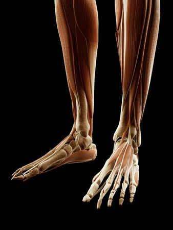 medical illustration of the legfoot muscles illustration