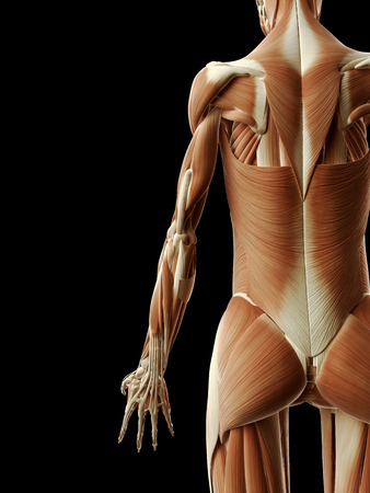 arm muscles: medical illustration of the arm muscles