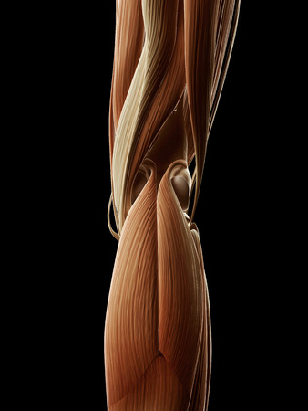medical illustration of the leg muscles illustration
