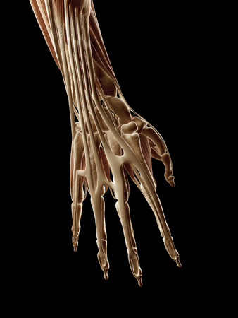 medical illustration of the hand muscles illustration