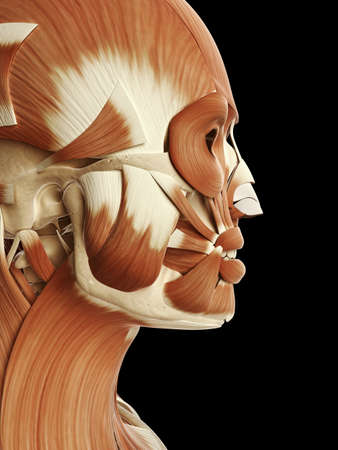 medical illustration of the head and face muscles illustration