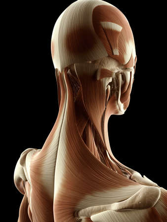 trapezius: ilustraci�n m�dica de los m�sculos del cuello Foto de archivo