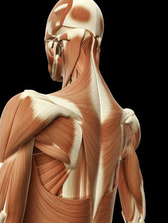 latissimus: medical illustration of the neck muscles Stock Photo