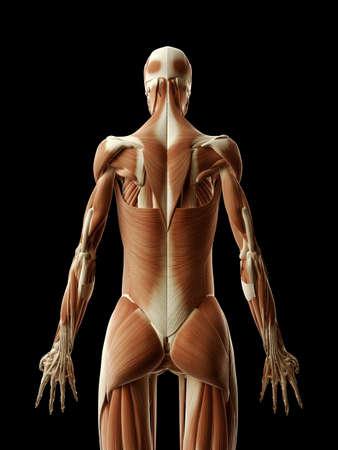 medical illustration of the muscular back Stock Illustration - 22818714