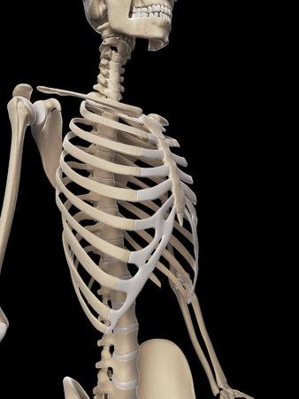 medical illustration of the rib cage Stock Illustration - 22818717
