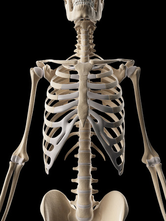 medical illustration of the rib cage Stock Illustration - 22818718