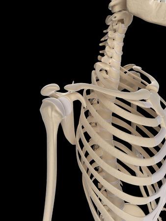 medical illustration of the shoulder Stock Illustration - 22818721