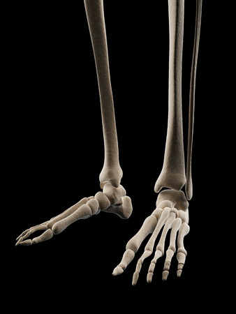 medical illustration of the skeletal foot Stock Photo