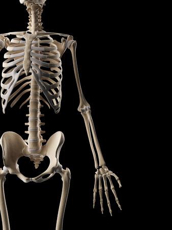 ulna: medical illustration of the arm bones