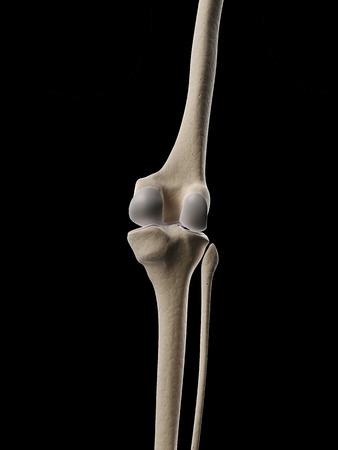 scheletro umano: illustrazione medica del ginocchio