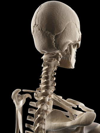 medical illustration of the skull and neck Stock Illustration - 22818736