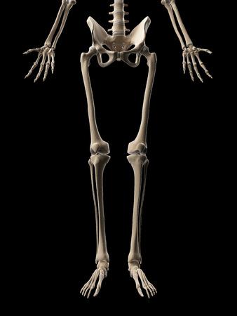 medical illustration of the leg bones Stock Illustration - 22818737