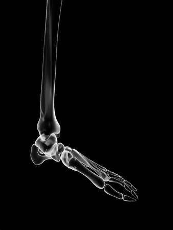 navicular: medical illustration of the skeletal foot Stock Photo