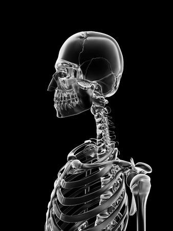 medical illustration of the skull and neck illustration
