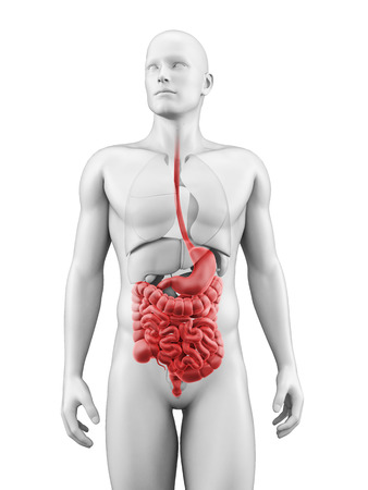 medical illustration of the digestive system illustration