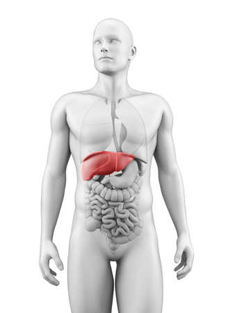 human liver: medical illustration of the liver Stock Photo
